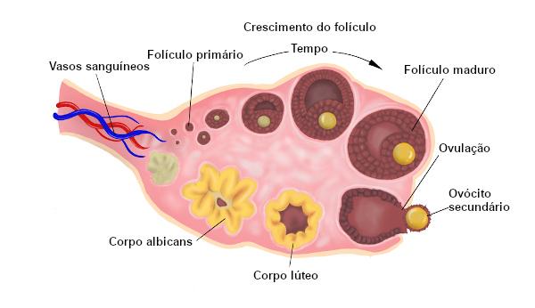 A ovulação é a liberação do ovócito secundário pelo ovário.