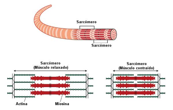 Observe a estrutura de um sarcômero.