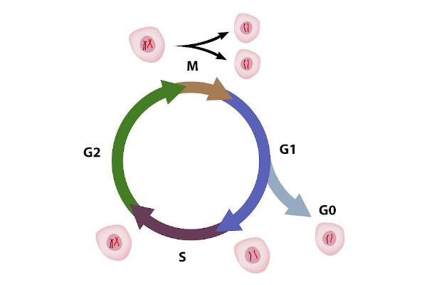 O ciclo celular é composto pela interfase e pela mitose.