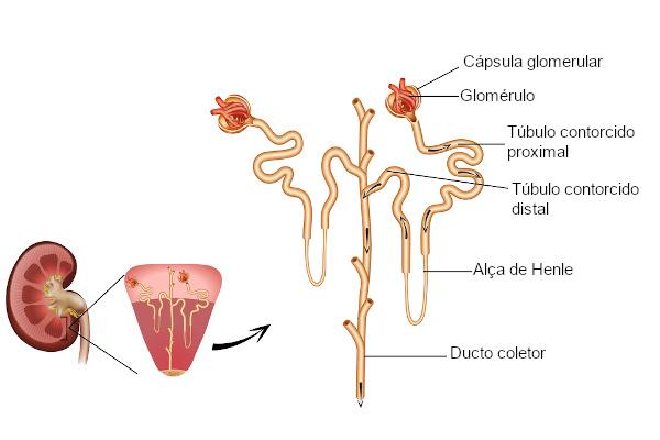Observe a estrutura do néfron, a unidade funcional do rim.