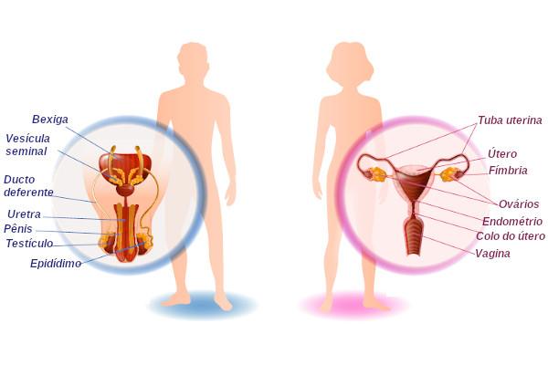 Os sistemas reprodutores masculino e feminino garantem as condições necessárias para que ocorra a nossa reprodução.