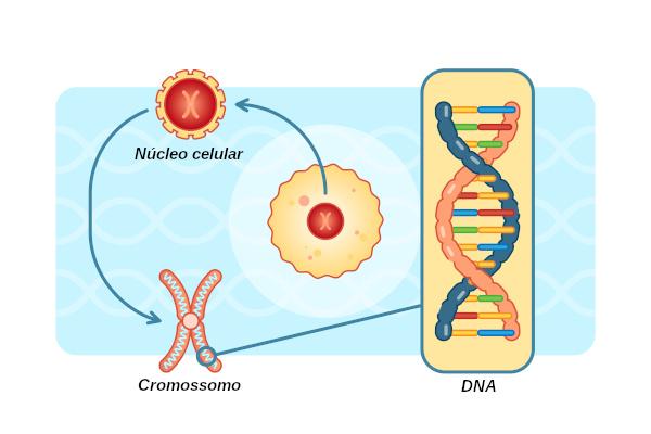 O núcleo armazena o material genético dos organismos eucariontes.