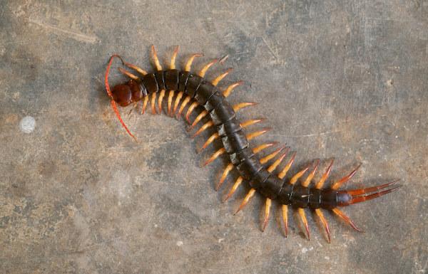 Observe que os quilópodes possuem um par de patas por segmento.