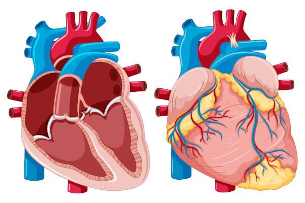 O sistema cardiovascular é formado pelo coração e pelos vasos sanguíneos.