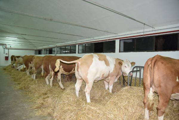 Fazendas de criação bovina tem um ambiente rico em metano, devido ao processo digestivo que acontece no organismo dos ruminantes.