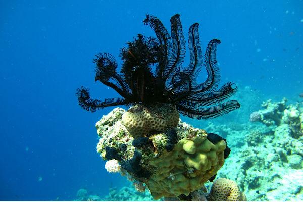 Os lírios-do-mar vivem aderidos ao substrato.