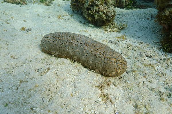Os pepinos-do-mar apresentam um corpo alongado, diferentemente dos outros equinodermos.