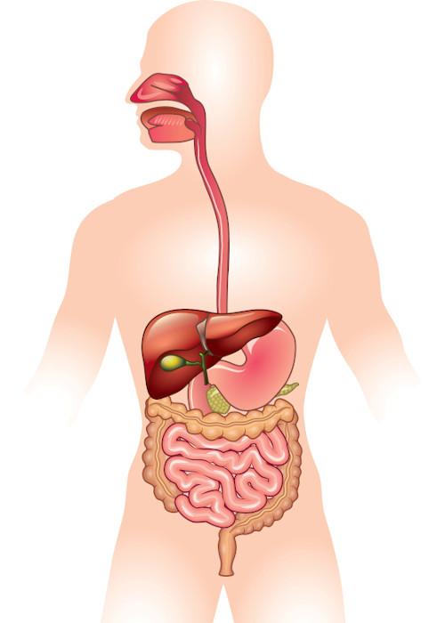 O sistema digestório é composto por boca, faringe, esôfago, estômago, intestino delgado, intestino grosso e ânus.