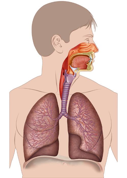 O sistema respiratório é formado por cavidades nasais, faringe, laringe, traqueia, brônquios, bronquíolos e alvéolos.