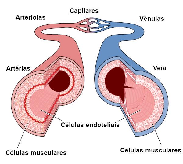 Os vasos sanguíneos estão interligados, formando um grande circuito pelo qual o sangue passa.