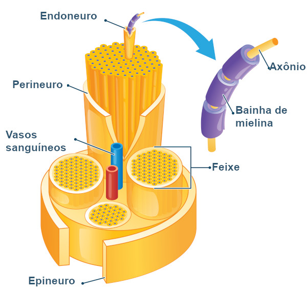 Observe atentamente a estrutura de um nervo.
