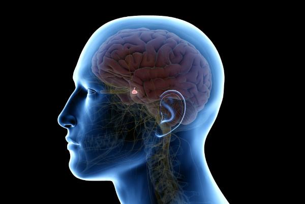 A hipófise é uma glândula de pequenas dimensões, porém com um grande papel no organismo.