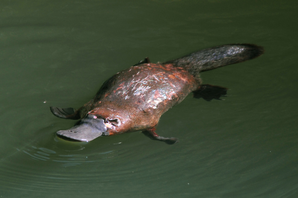 Os ornitorrincos são mamíferos que botam ovos.