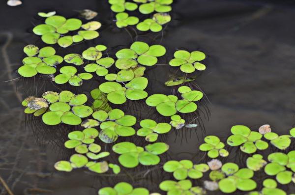 As plantas que vivem na água apresentam raízes aquáticas.