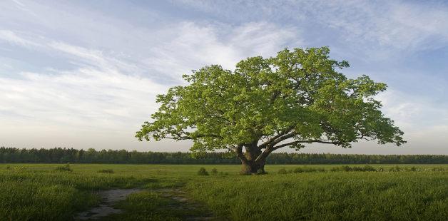 árvore isolada em campo