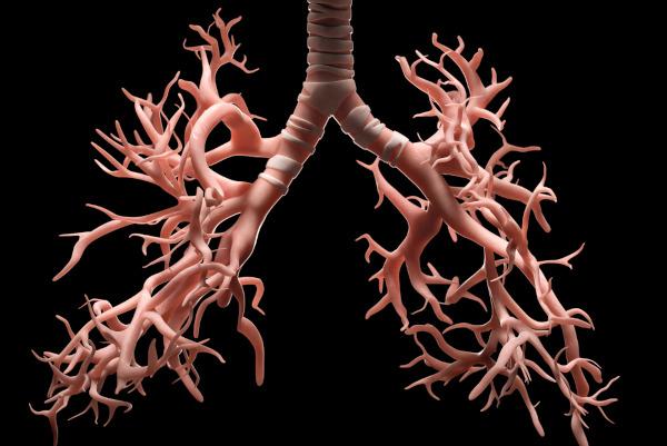 Os brônquios originam-se da traqueia, adentram os pulmões e ramificam-se.