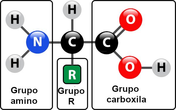 Os aminoácidos são moléculas orgânicas que formam as proteínas.
