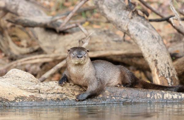 As lontras geralmente capturam suas presas na água.