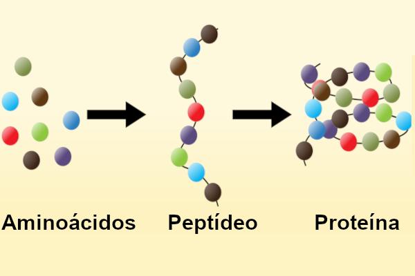 Os aminoácidos formam os peptídeos e estes podem formar as proteínas.