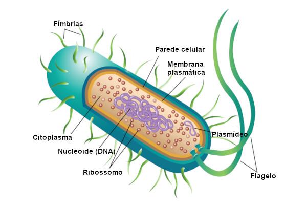 Observe a estrutura básica de uma bactéria.