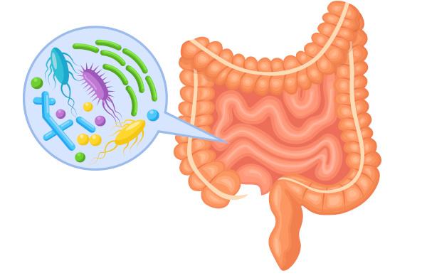 Nosso intestino é repleto de bactérias benéficas, que auxiliam no funcionamento adequado do órgão.