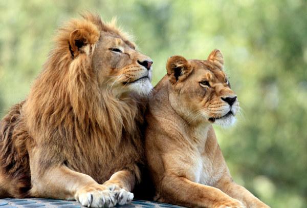 As fêmeas diferenciam-se dos machos por, geralmente, não apresentarem juba.