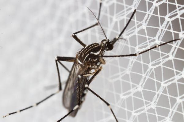 Os mosquitos do gênero Aedes são os vetores da chikungunya, uma doença viral.