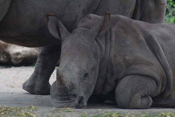 O rinoceronte-de-java possui cornos de tamanho reduzido.