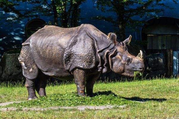 Os rinocerontes-indianos apresentam apenas um corno.