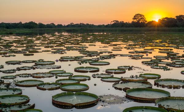 A vitória-régia é uma planta aquática característica do Pantanal, situado no oeste do Mato Grosso do Sul.