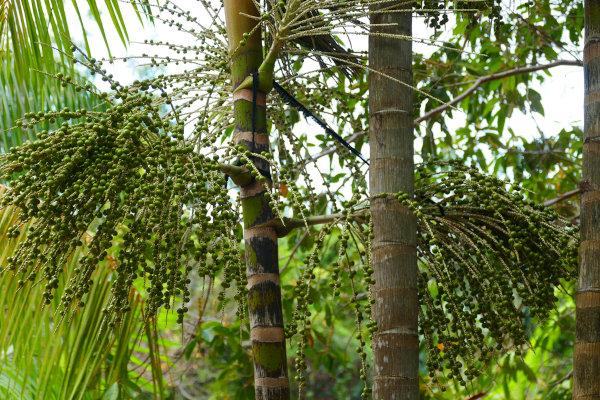 O Pará é o maior produtor brasileiro e mundial de açaí.
