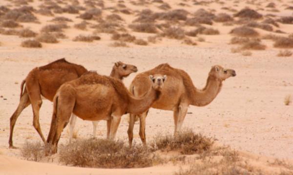 Apesar de parecidos com camelos, os dromedários possuem apenas uma corcova.