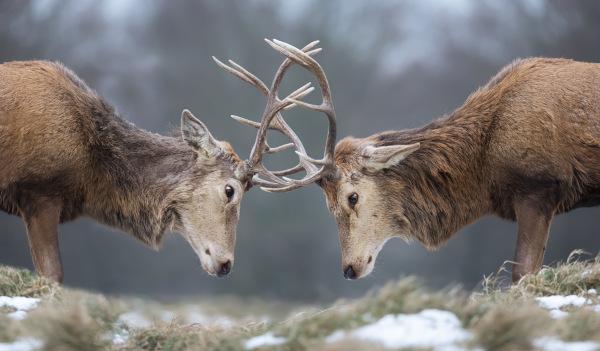 Relações ecológicas podem ocorrer entre indivíduos de uma mesma espécie e ser harmônicas ou desarmônicas. Na figura, uma competição intraespecífica.
