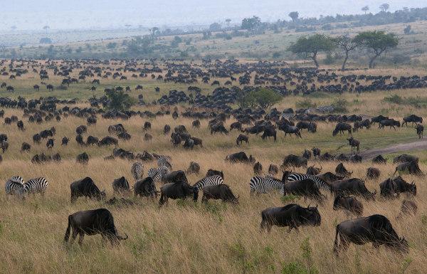 Manada de búfalos pastando, com algumas zebras no local.