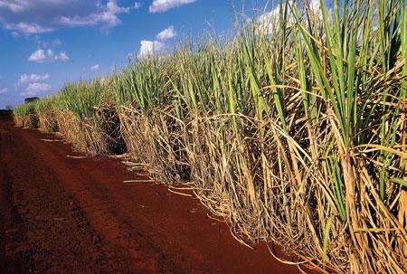 A cana de açúcar é um cultivo muito presente nos campos brasileiros.