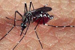 O mosquito transmissor da dengue (e também da febre amarela).