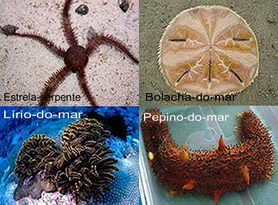 Na figura podemos observar outras espécies de equinodermos