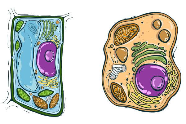 As células animais e vegetais são células do tipo eucarionte, ou seja, possuem núcleo definido.