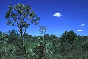 Cerrado -  Cobertura vegetal comum no centro-oeste do Brasil