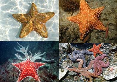 As estrelas-do-mar são equinodermos que possuem cinco braços
