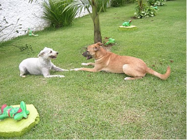 O feromônio nos cães não seleciona raça, somente espécie