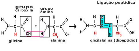 Figura ilustrando como ocorre uma ligação peptídica.