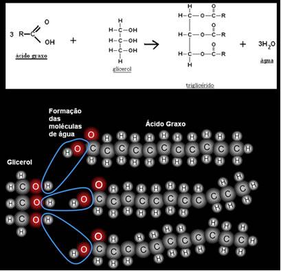 Reação de formação do triglicerídeo a partir de ácido graxo e glicerol.