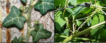 Plantas trepadeiras e maracujás são exemplos de vegetais que realizam o tigmotropismo.