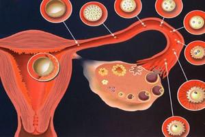 A ação de determinados hormônios permite que o útero se prepare para uma possível gestação