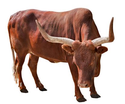 Os touros, assim como alguns outros ungulados artiodáctilos, possuem cornos, e não chifres