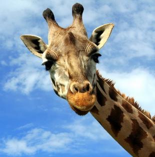 As girafas apresentam cornos (Recobertos por pele) chamados ossicones, formados separadamente do osso frontal