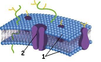 Esquema da membrana plasmática segundo o modelo do mosaico fluido