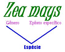 Observe que o nome da espécie é formado pelo gênero e pelo epíteto específico. Zea mays é o nome científico do milho