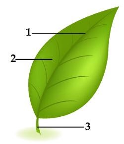 Observe as partes da folha indicadas pelos números